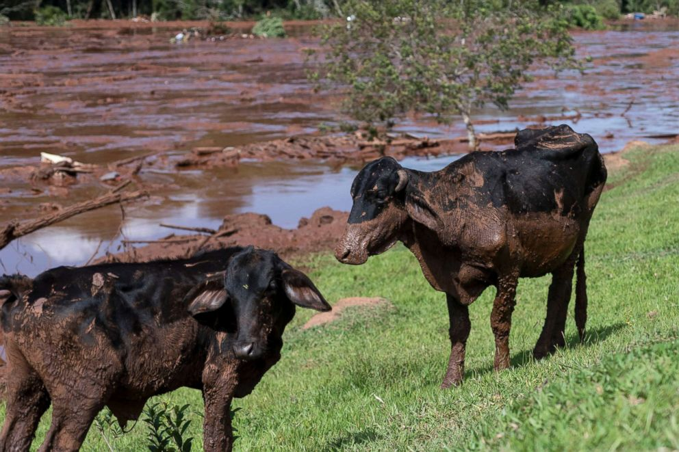 Cattle are covered by mining debris after a mine collapsed near Brumadinho, Brazil, Friday, Jan. 25, 2019.