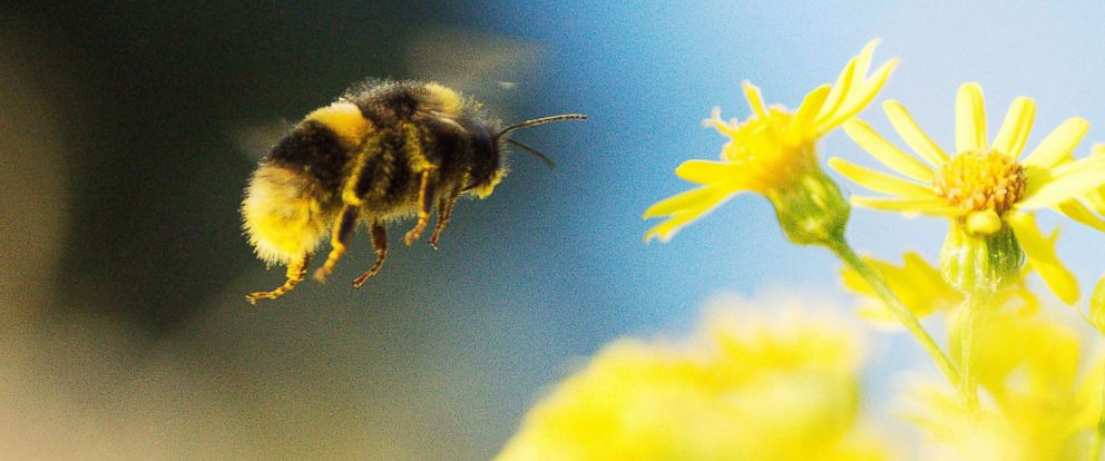 PHOTO: A bumblebee gathers pollen from a flower in this undated stock photo.