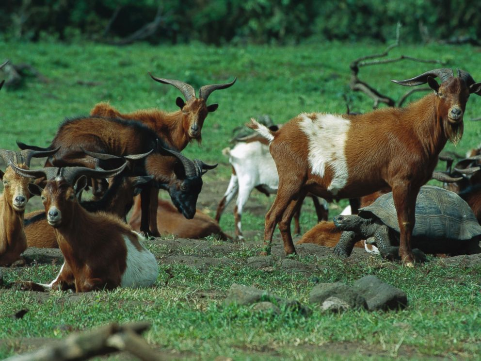 PHOTO: A herd of feral goats gathers near a giant tortoise in the Galapagos Islands on June 15, 2004.