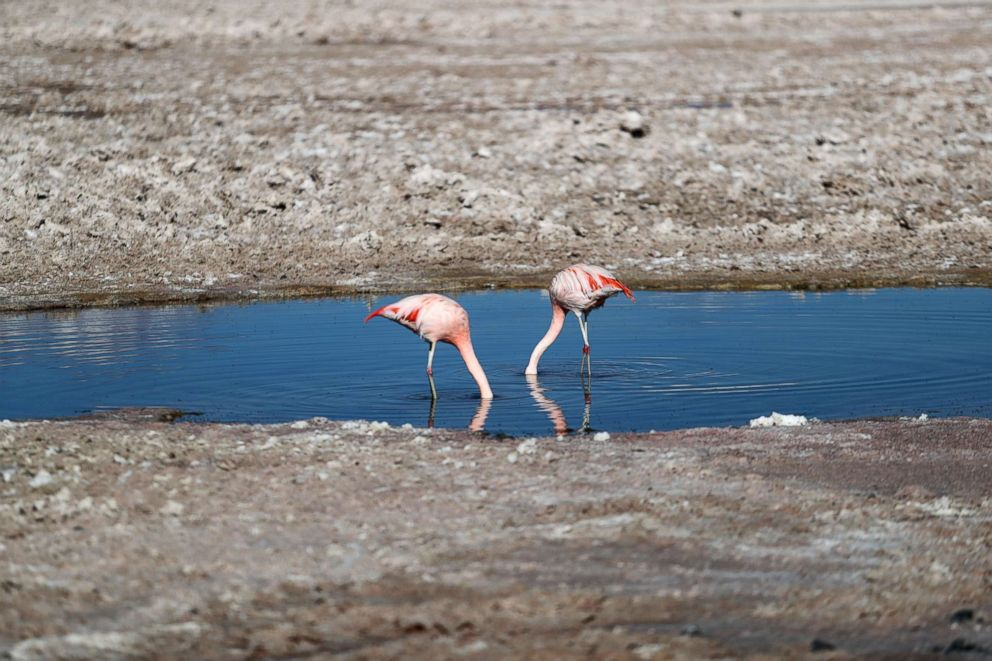PHOTO: Flamingo birds are seen at Chaxa lagoon on the Atacama salt flat in the Atacama desert, Chile, Aug. 15, 2018.