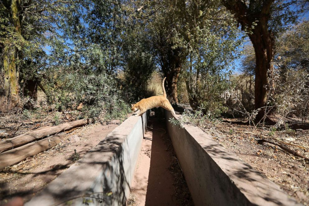 PHOTO: A cat jumps over a dried irrigation canal at Salar area next to San Pedro de Atacama, Chile, Aug. 15, 2018.