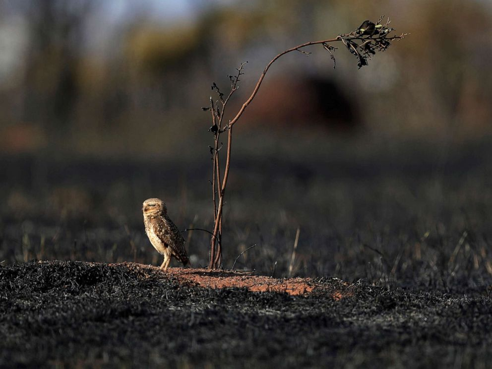 PHOTO: An owl stands in the savanna following a frie in Brazil, Sept. 17, 2019, during a hot, dry spell.