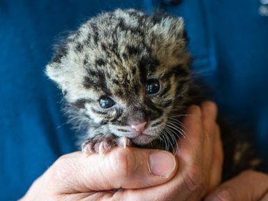 Pittsburghs one-month-old clouded leopard cub
