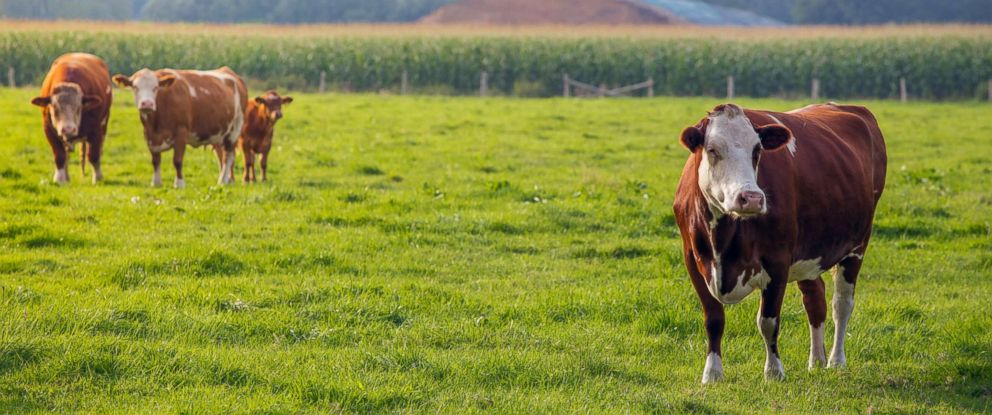 PHOTO: Cows are seen here in this undated file photo.