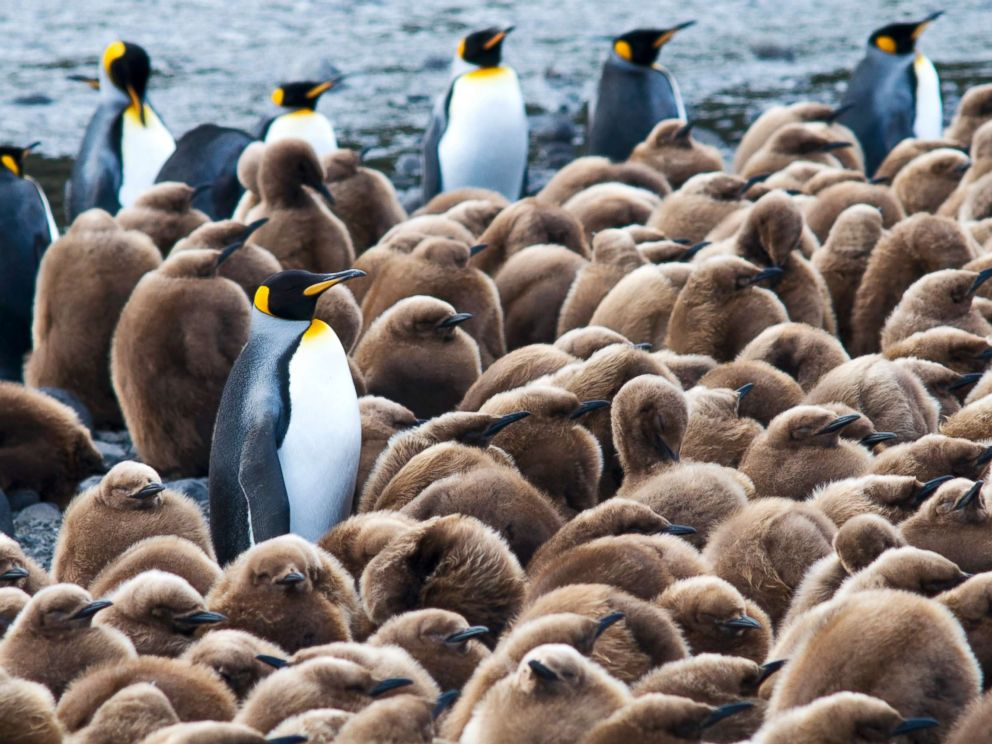 Adult King Penguins (Aptenodytes patagonicus) and their young near Base Alfred-Faure, in Crozet islands, Antarctica, in this undated stock photo.