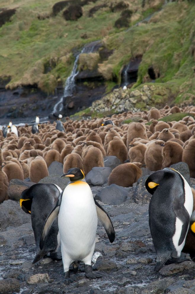 PHOTO: Young and adult King Penguins (Aptenodytes patagonicus) are near Base Alfred-Faure, in Crozet islands, Antarctica, in this undated stock photo.
