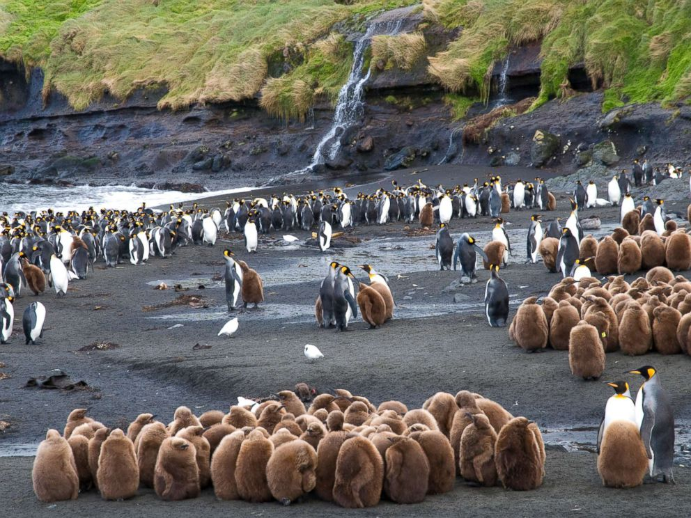PHOTO: Young and adult King Penguins (Aptenodytes patagonicus) near Base Alfred-Faure, in Crozet islands, Antarctica, in this undated stock photo.