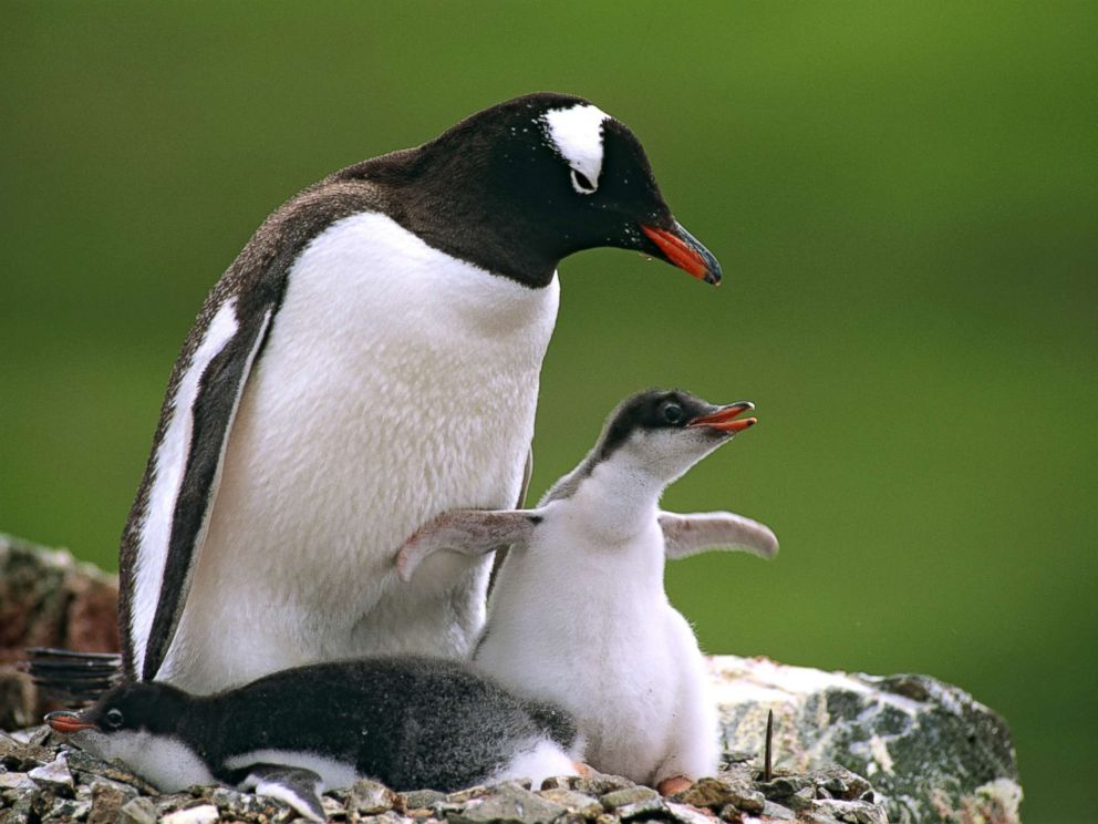 PHOTO: A Gentoo penguin (Pygoscelis papua) with its chicks in the Antarctic region, in this undated stock photo.