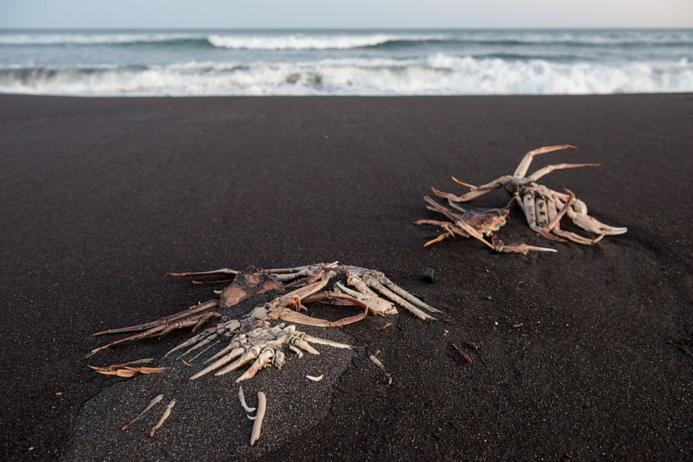 PHOTO: Dead crabs are seen washed up on the shore due to unexplained water pollution in Kamchatka region, Russia, on Oct. 8, 2020.
