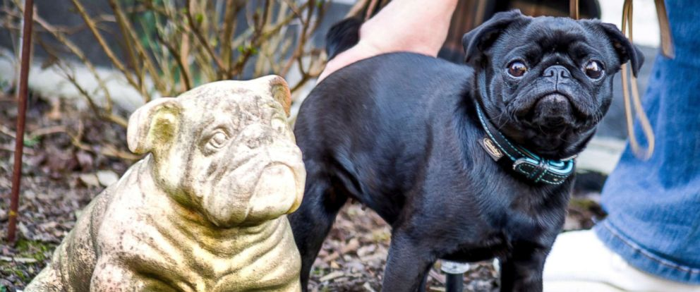 PHOTO: A black pug named Edda is pictured in Duesseldorf, Germany, Feb. 27, 2019.