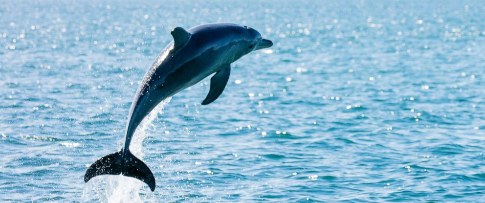 PHOTO: A dolphin leaps from the sea in this stock photo.