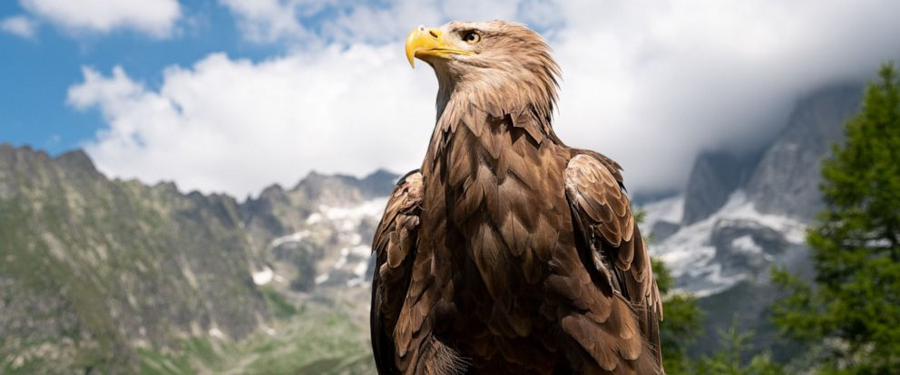"""PHOTO: """"Victor,"""" the cameraman eagle, is a 9-year-old white tailed eagle."""