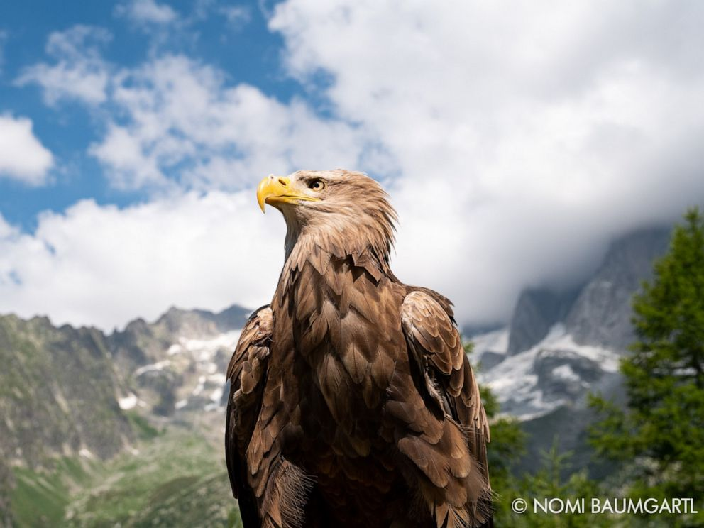 PHOTO: Victor, the cameraman eagle, is a 9-year-old white tailed eagle.
