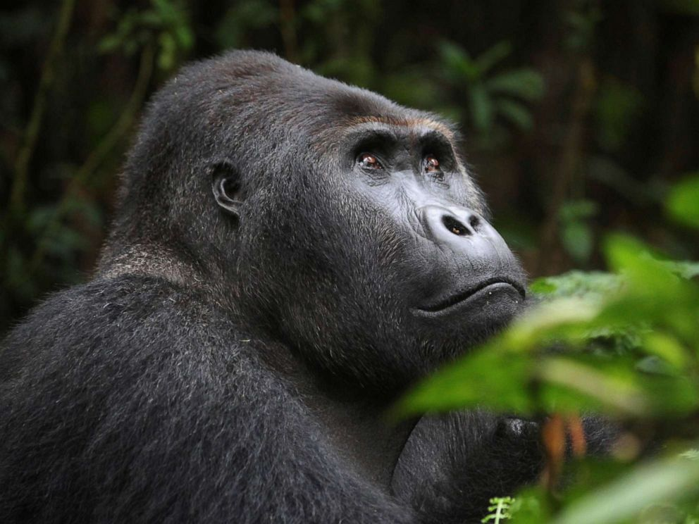 PHOTO: A Lowland Gorilla is seen in the Kahuzi-Biega National Park in South Kivu, eastern Democratic Republic of Congo, Nov. 5, 2012.