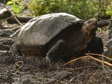 Tortoise thought to be extinct for 100 years discovered in Galapagos Islands