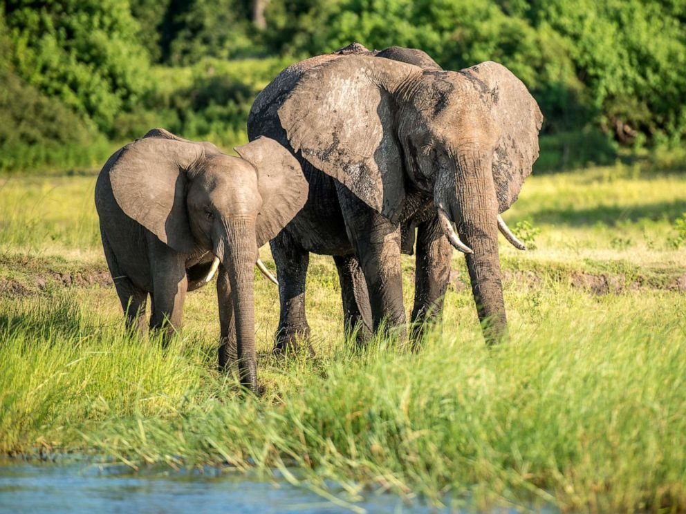 PHOTO: Elephants are pictured at Chobe National Park in Botswana, Feb. 16, 2015.