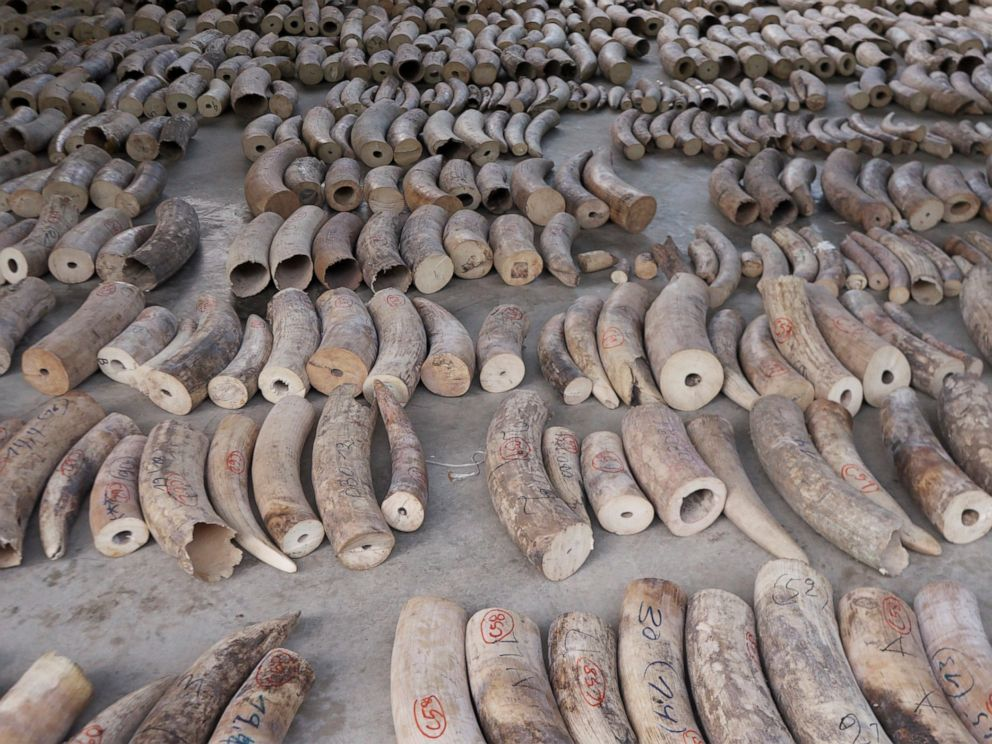 PHOTO: This Monday, July 22, 2019, photo released by National Parks Board shows ivory tusks in Singapore. Singapore has seized nearly 10 tons of elephant ivory and about 12 tons of pangolin scales belonging to around 2,000 of the endangered mammals.