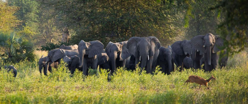PHOTO: Gorongosas elephants are seen here in this Aug. 7, 2014 file photo.