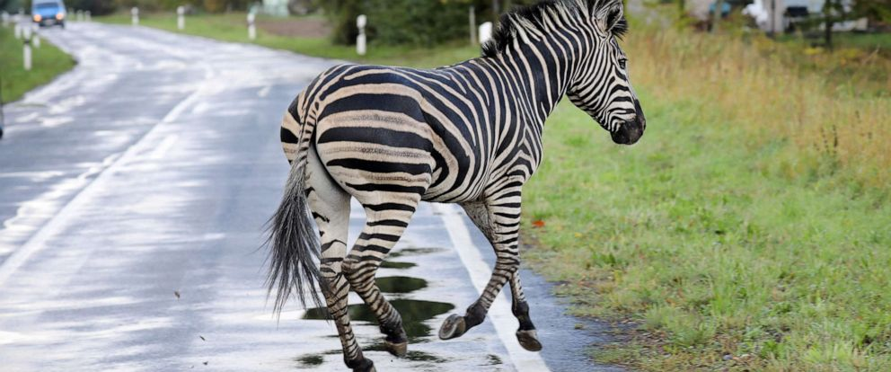 PHOTO: A zebra runs across a road in the village of Thelkow, northeastern Germany, Oct. 2, 2019. The animal had broken out of a nearby circus with a fellow zebra and had caused an accident on the A20 motorway in the area.