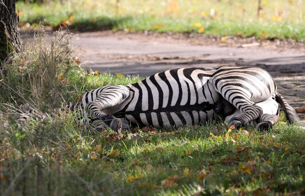 PHOTO: A zebra lies dead by the roadside after it was shot near Liepen, northeastern Germany, Oct. 2, 2019. The animal had broken out of a nearby circus with a fellow zebra and had caused an accident on the A20 motorway.