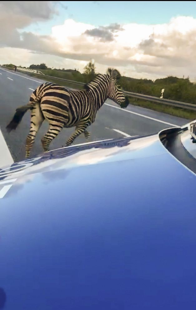 PHOTO: A zebra walks next to a police car on the A20 motorway near the village of Tessin, northeastern Germany, Oct. 2, 2019.