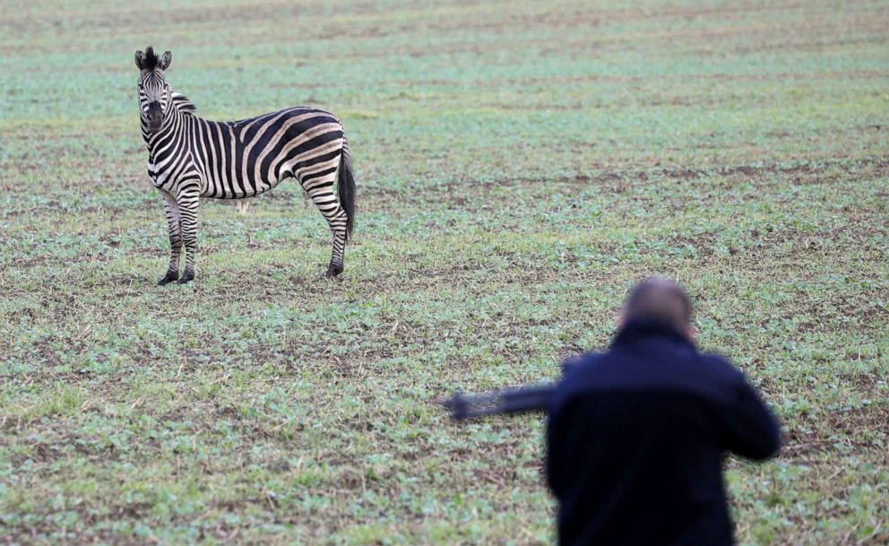 PHOTO: A runaway zebra stands on a field while a man with a stun gun tries to approach the animal in Thelkow, northeastern Germany, Oct.2, 2019.
