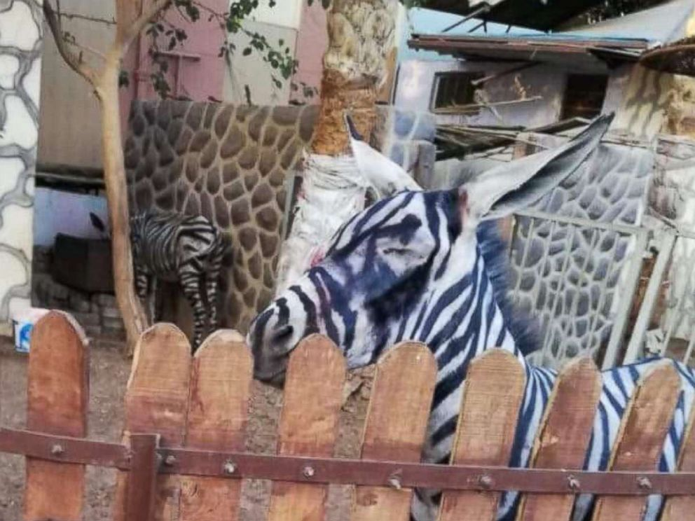 Sarhan spotted what he said was a donkey painted to look like a zebra at International Garden public park in Cairo