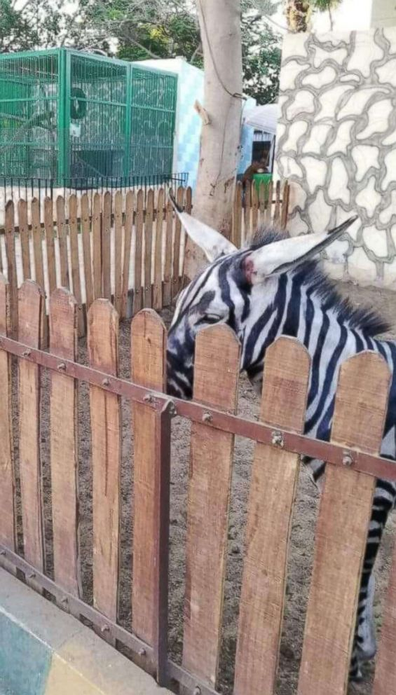 Zoo visitor Mahmoud Sarhan spotted what he said was a donkey painted to look like a zebra at Cairo's International Garden public park.