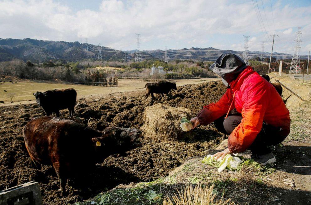 FOTO: Hisae Unuma alimenta con verduras a un buey en el Ranch of Hope, una granja de ganado propiedad de Masami Yoshizawa en Namie, Prefectura de Fukushima, Japón, el 23 de febrero de 2021.