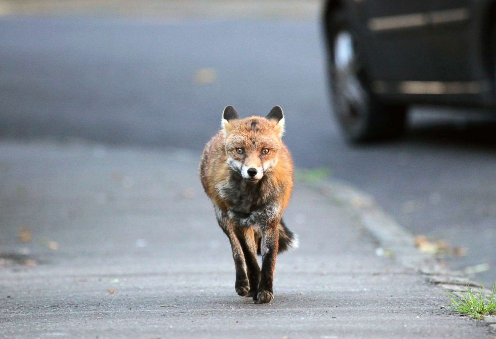 PHOTO: In this undated stock photo shows an urban fox running down a street.