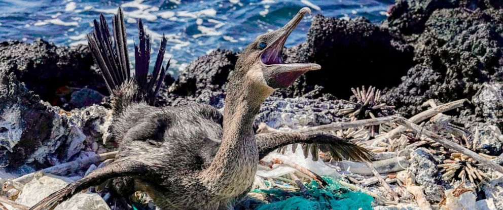 PHOTO: A flightless cormorant sits on her nest surrounded by garbage on the shore of Isabela Island in the Galapagos Archipelago in the Pacific Ocean, Feb. 21, 2019.