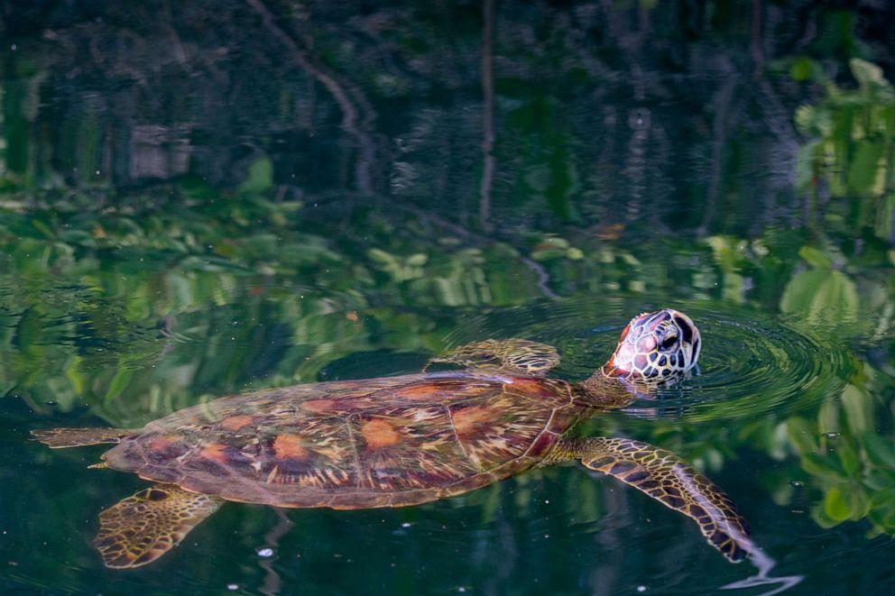 PHOTO: A green sea turtle swims in a lagoon at Black Turtle Cove, Santa Cruz Island in the Galapagos Islands, Ecuador.
