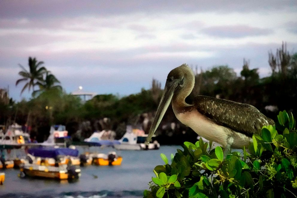 PHOTO: A Galapagos brown Pelican is seen in Puerto Ayora, Galapagos Archipelago, Feb. 13, 2019.