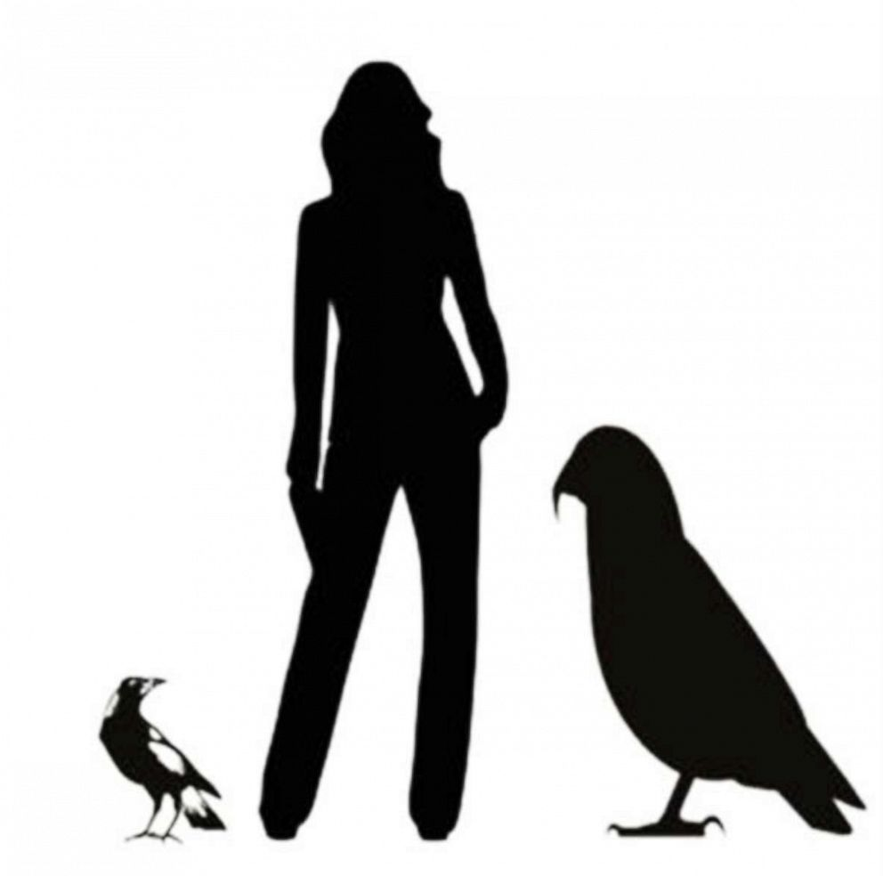 PHOTO: Graphic showing the Heracles inexpectatus silhouette next to an average height woman and common magpie.