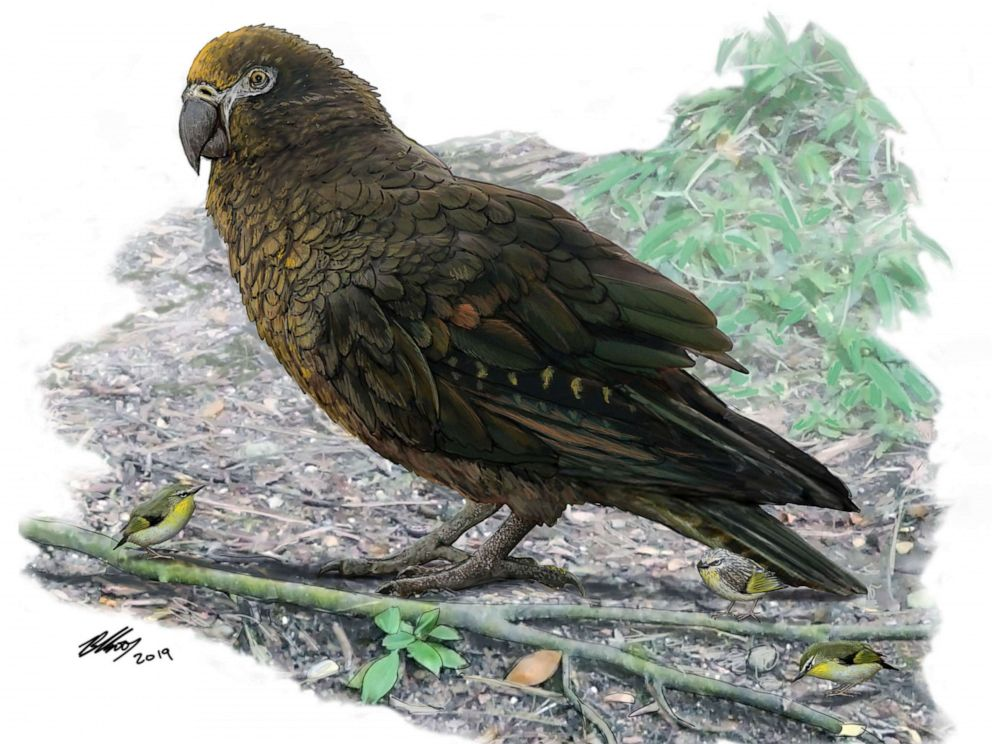 PHOTO: This handout picture released on August 7, 2019, by the Flinders University shows the drawing by Dr. Brian Choo featuring a giant-sized parrot that stood more than half the height of an average human and roamed the earth 19 million years ago.