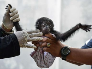 Baby gibbon gets a check up