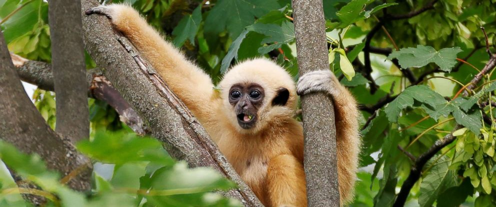 PHOTO: A white-handed gibbon cub is seen in his enclosure in Schoenbrunn Zoo in Vienna, on June 7, 2018.