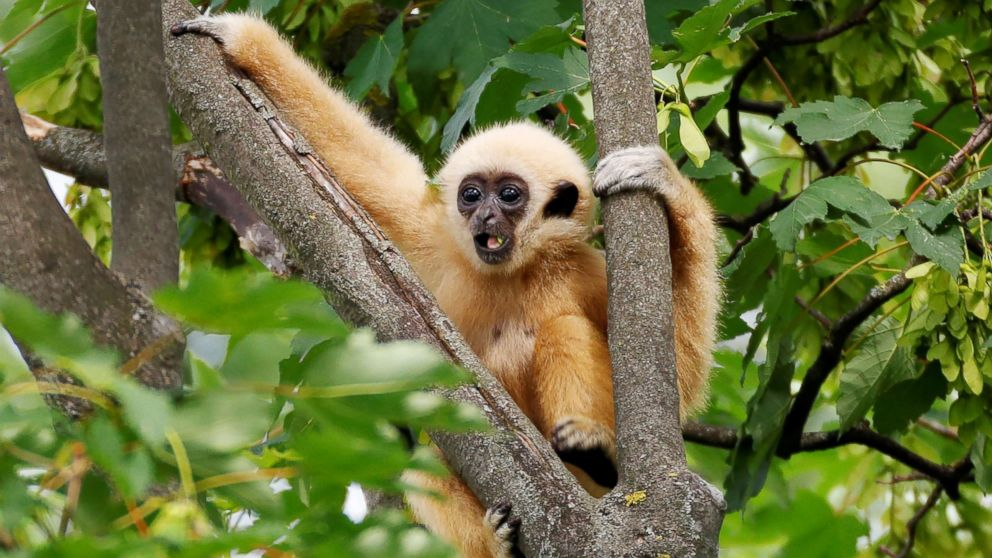 A white-handed gibbon cub is seen in his enclosure in Schoenbrunn Zoo in Vienna, on June 7, 2018.