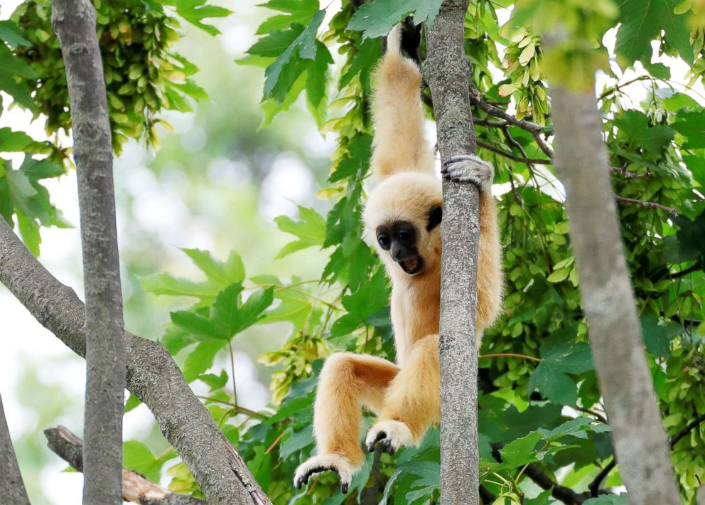 PHOTO: A white-handed gibbon cub is pictured in his enclosure in Schoenbrunn Zoo in Vienna, Austria, June 7, 2018.  New, long-extinct ape species found in ancient Chinese tomb gibbon rt jpo 180622 hpEmbed 7x5 992
