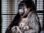 Gorilla cradles her 4-week-old baby