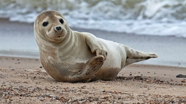 Seals learn to mimic human tones, Scottish scientists say -- and there's adorable video to prove it