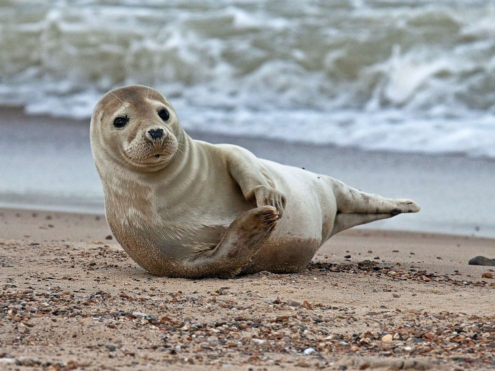 PHOTO: A grey seal lays on the beach in this stock photo.
