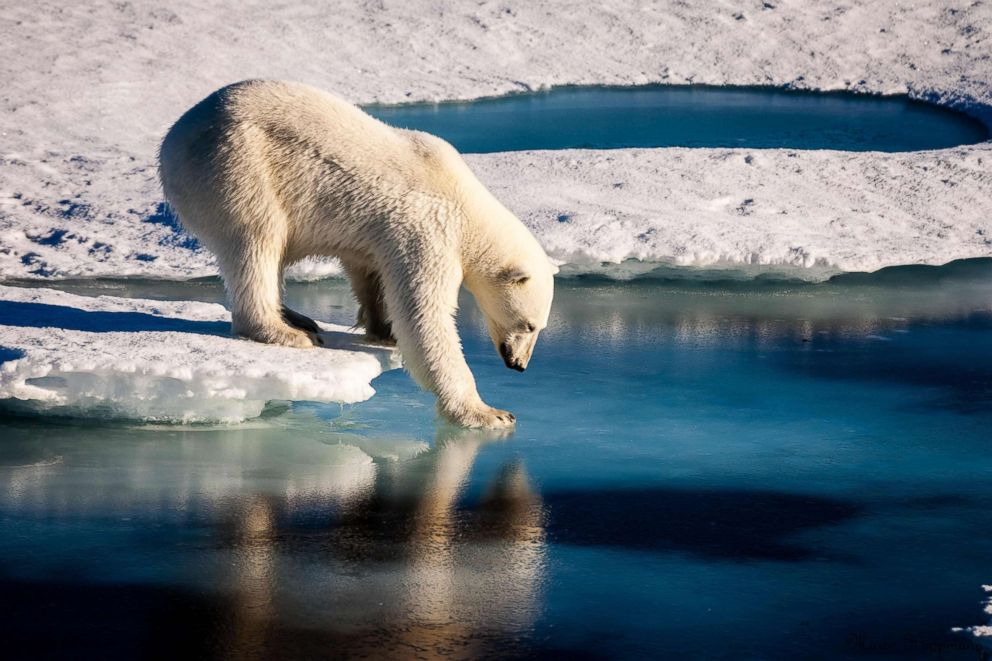 PHOTO: This handout file photo taken on August 22, 2015 and provided by the European Geosciences Union shows a polar bear testing the strength of thin sea ice in the Arctic.