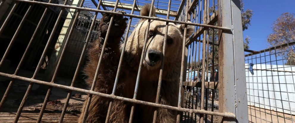 "PHOTO: An abandoned bear stands in its cage before receiving treatment from members of the international animal welfare charity ""Four Paws"" at the Montazah al-Morour Zoo in eastern Mosul on Feb. 21, 2017."