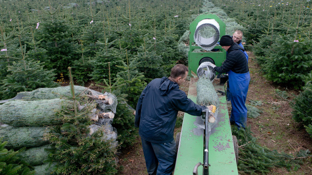 photo seasonal workers from poland prepare christmas trees for sale at the gut sierhagen farm - Christmas Tree Farms For Sale