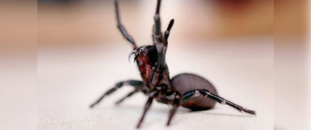 PHOTO: A Funnel Web spider is pictured at the Australian Reptile Park Jan. 23, 2006 in Sydney, Australia.