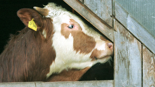 PHOTO: A cow sticks her head out of a barn, March 2001, on an organic farm in Arnbruck, Germany. Germany has just removed the longest word in the dictionary which pertained to monitoring and preventing the spread of mad cow disease.
