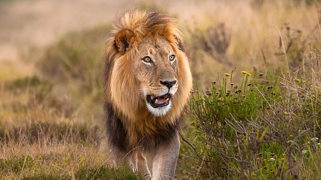 PHOTO: Lions are becoming a threatened species.