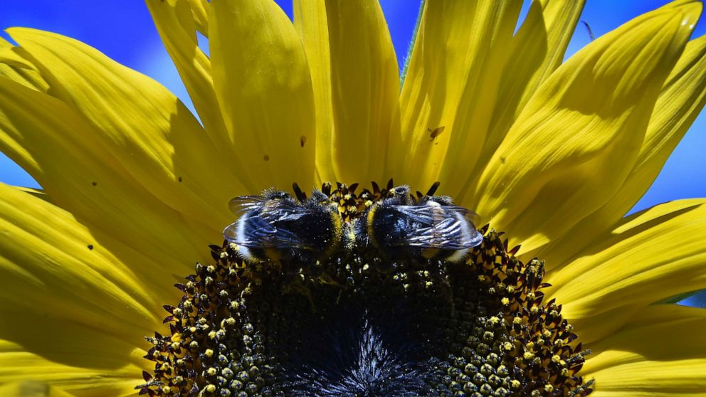 Bumblebees even more devastated by recent climate change than previously thought: Study