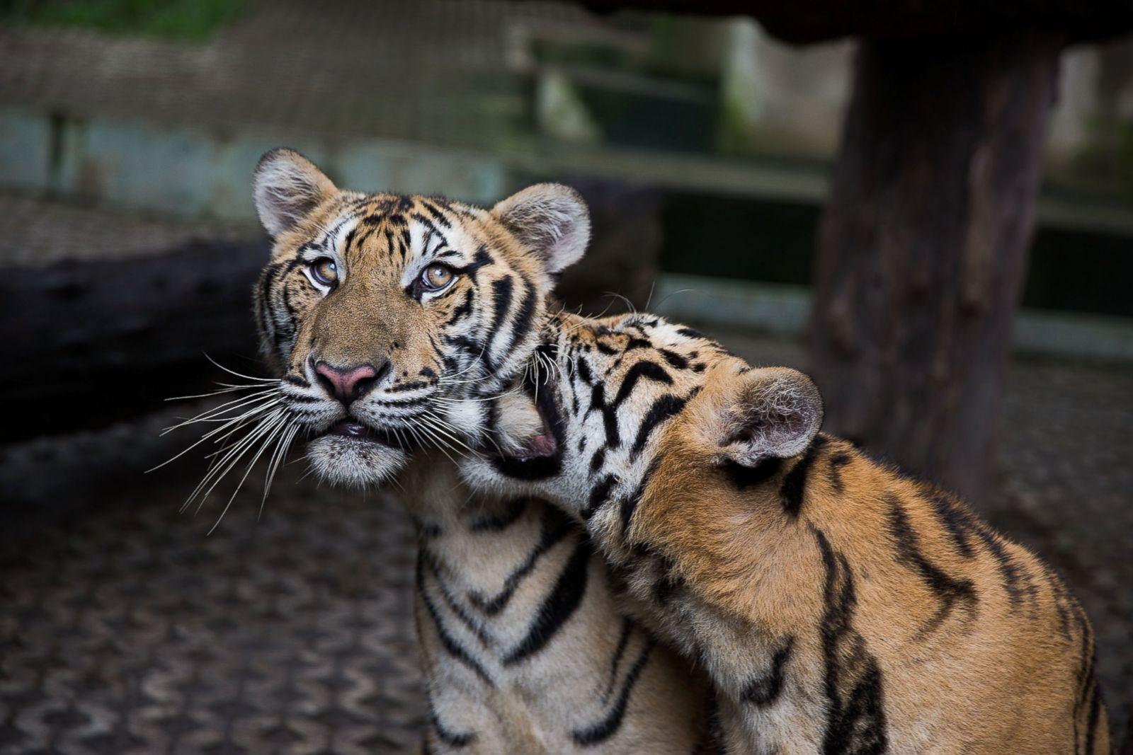 Горячий шоколад, картинки день тигра